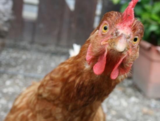 Факты о курице