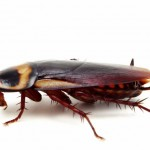15 интересных фактов о тараканах