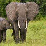 20 интересных фактов о слонах