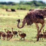 17 интересных фактов о страусах