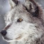 27 интересных фактов о волках
