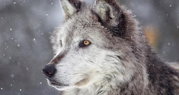Факты о волках