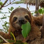 14 интересных фактов о ленивцах