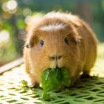24 интересных факта о морских свинках