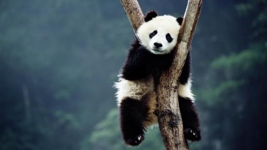 Факты о больших пандах