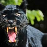 14 интересных фактов о черной пантере