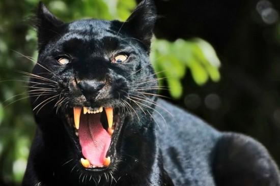 Факты о черной пантере