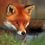 12 интересных фактов о лисах