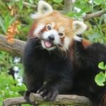 9 интересных фактов о малой панде