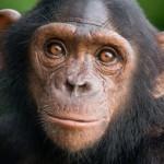 10 интересных фактов о шимпанзе