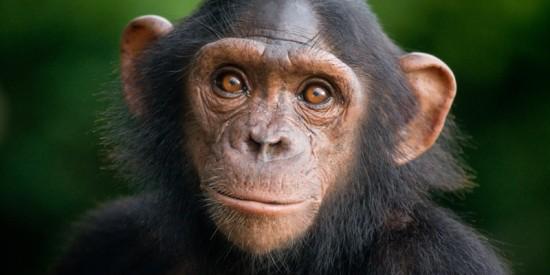 Факты о шимпанзе
