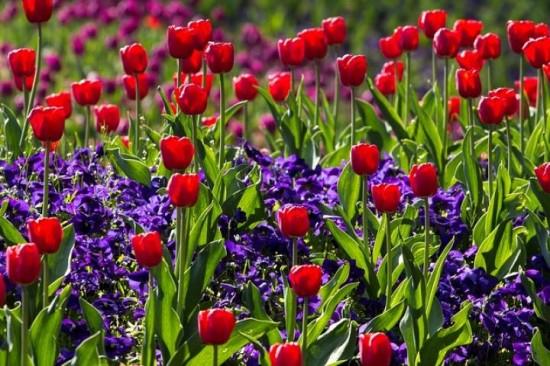 Факты о тюльпанах