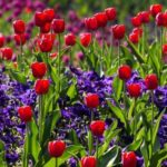 15 интересных фактов о тюльпанах