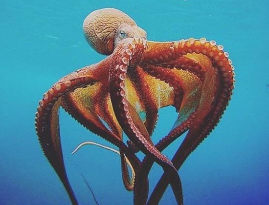 Факты об осьминогах