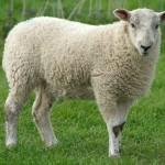 17 интересных фактов об овцах
