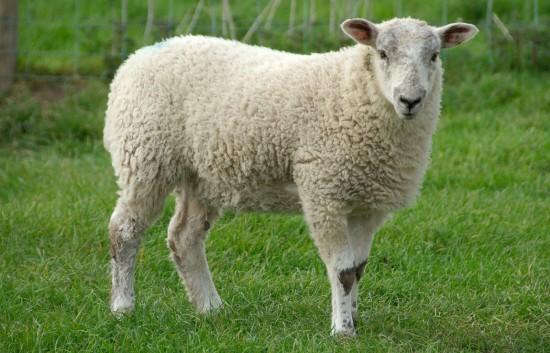 Факты об овцах