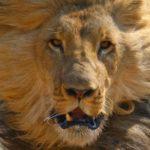 20 интересных фактов о львах