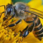25 интересных фактов о пчёлах