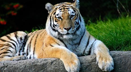 Факты об амурском тигре