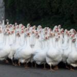 13 интересных фактов о гусях