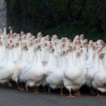 13-интересных фактов о гусях