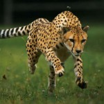 25 интересных фактов о гепардах