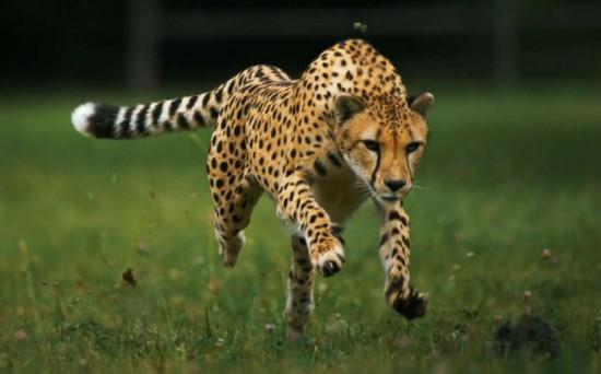 Факты о гепардах